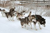 ������, ������: Dog Sledding Race