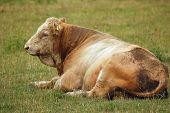 pic of charolais  - big old charolais bull lying down at farm - JPG