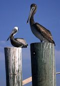 Pair Of Pelicans poster