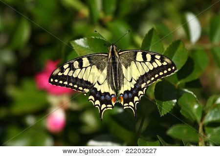 Machaon butterfly on a flower Zinnia