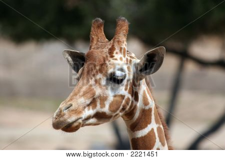 Wondering Giraffe