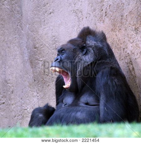 Morning Monkey Yawning