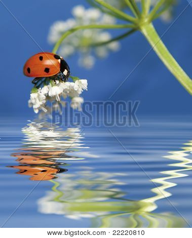 little sweet ladybug on a flower over water. More pictures of this cute beetle in my portfolio.