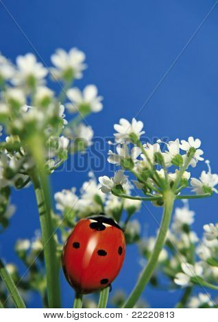Little sweet ladybug. More pictures of this cute beetle in my portfolio.