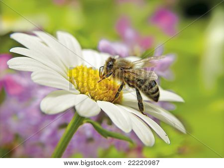 little bee is drinking water on a marguerite