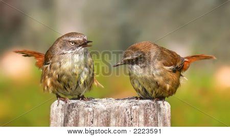 Pair Of Scrub Wrens