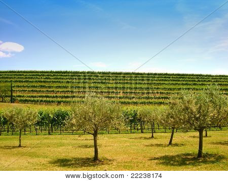 Olive Trees In Front Of A Hill With Vineyards