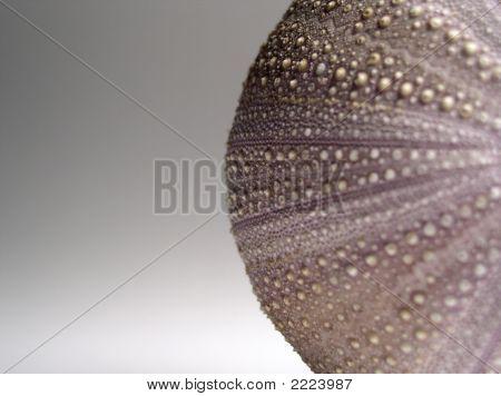 Sea Urchin Cropped