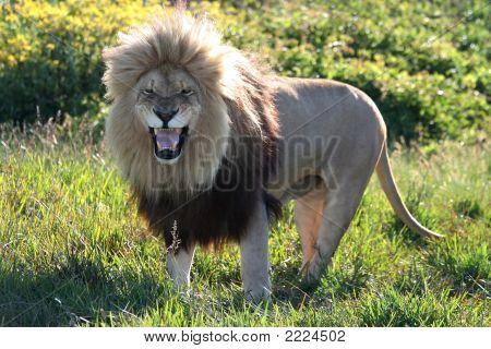 Lion Snarl
