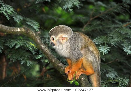 Saimiri Monkey In Tree