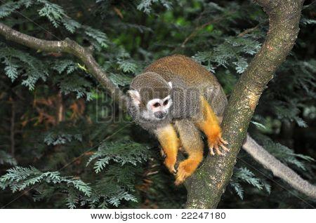 Saimiri Monkey