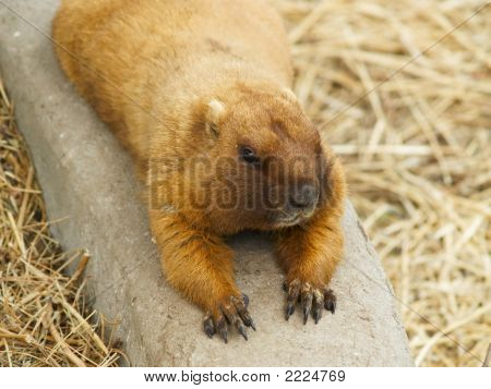 Gopher Lying On The Ground.