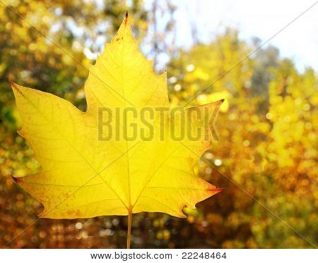 autumn yellow golden leaf macro closeup in forest