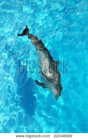 dolphin swimming from high angle view turquoise water