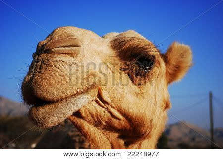 Cheeky Arabian Camel