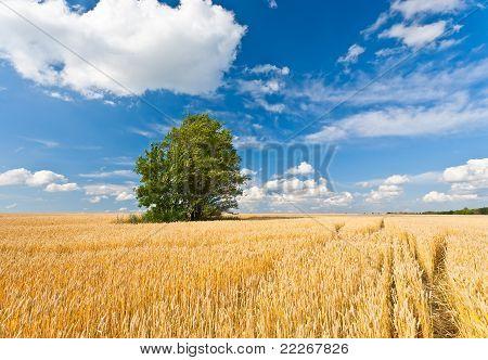alone tree in wheat field