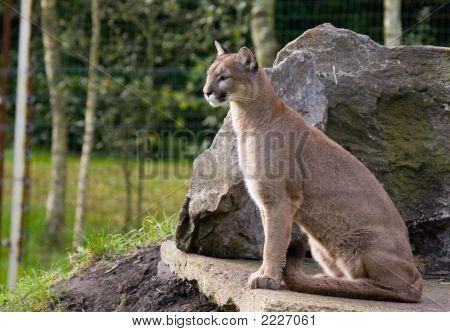 Sitting Cougar