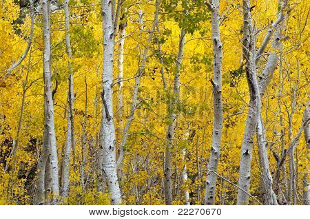 Autumn Foliage at full bloom in June Lake region California