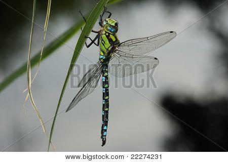dragonfly - odonata