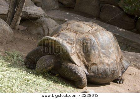 Gigantic Tortoise