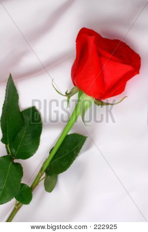 Long Stemmed Red Rose