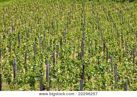 vineyards of Cote Maconnais region near Ige, Burgundy, France