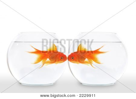 Goldfish Kiss