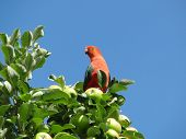 stock photo of king parrot  - A male king parrot perched in a tree