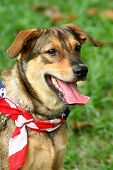 foto of happy dog  - patriotic dog at a carnival wearing the american flag as a scarf - JPG