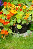 stock photo of nasturtium  - Blooming nasturtium in the garden close up - JPG