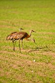 Trio Of Sandhill Cranes