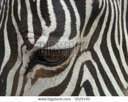 Sight Of A Zebra (Equus)