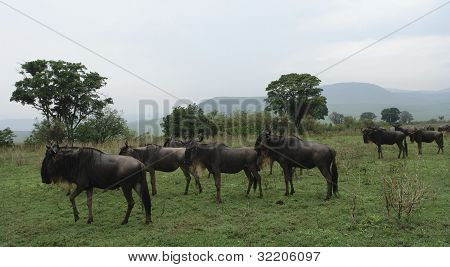 Blue Wildebeests In African Vegetation