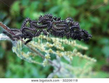Lots Of Dark Caterpillars