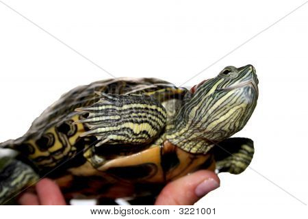 Water Turtle Isolated