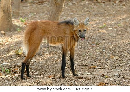 maned wolf in chiang mai night safari