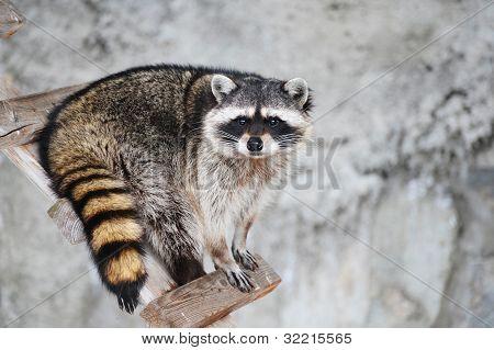 Wild animal, RacoonProcyon lotor predators, enotovy