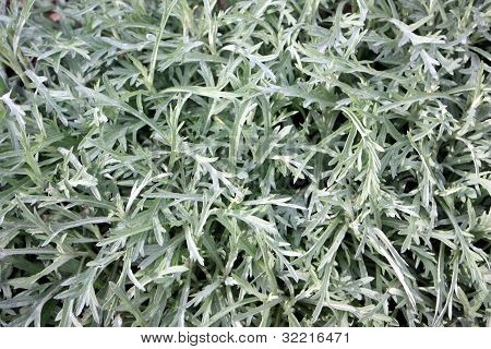 Artemisia Close-up