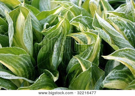 Frost Covered Hosta Leaves