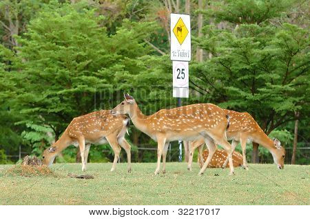 group of sika deer in chiang mai night safari