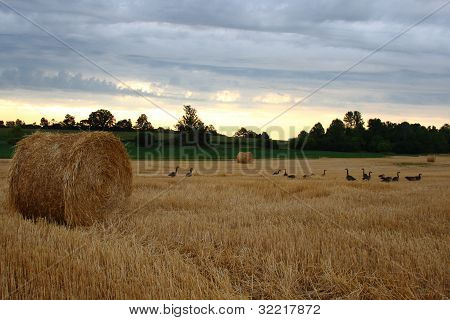 group of canadian geese looking for food in a farmers field