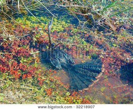 Anhinga under water