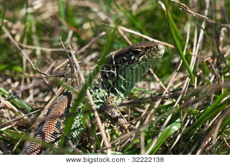 Common Lizard In The Grass