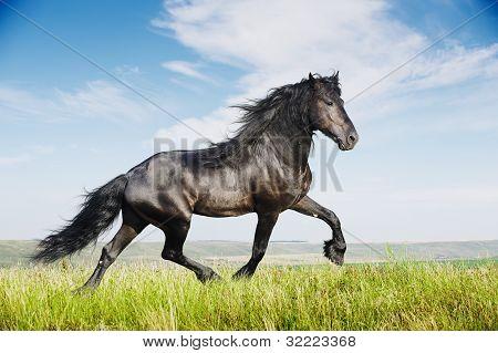 schönes schwarzes Pferd läuft Trab
