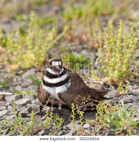 Killdeer Bird Defending Its Nest