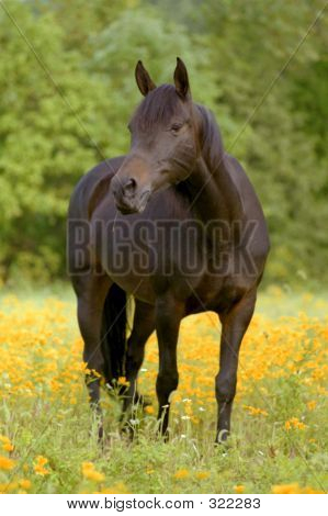 Morgan Horse