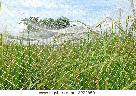 rice farm with net cover