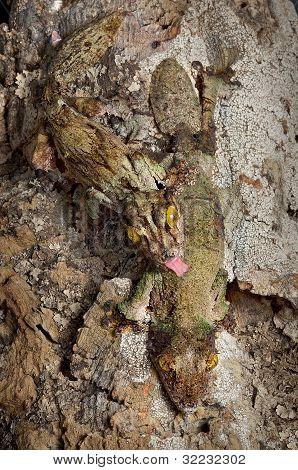 Mossy Gecko Pair
