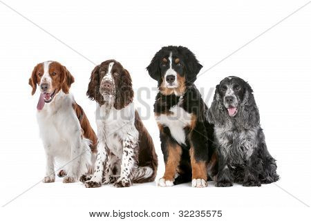 Quatro cães em linha A
