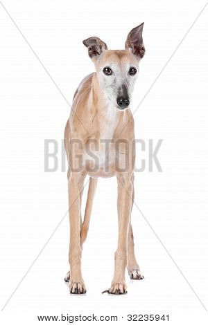 Old Greyhound